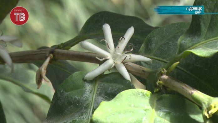 В Донецком ботсаду впервые расцвело кофейное дерево