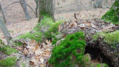 Наш край. Ботанический памятник природы «Урочище Грабово».
